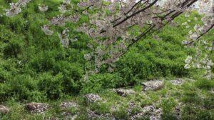 桜の花びらが地面に落ちてキレイ