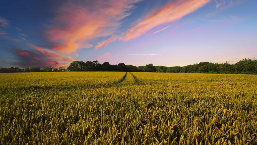 夏の夕方の畑の風景