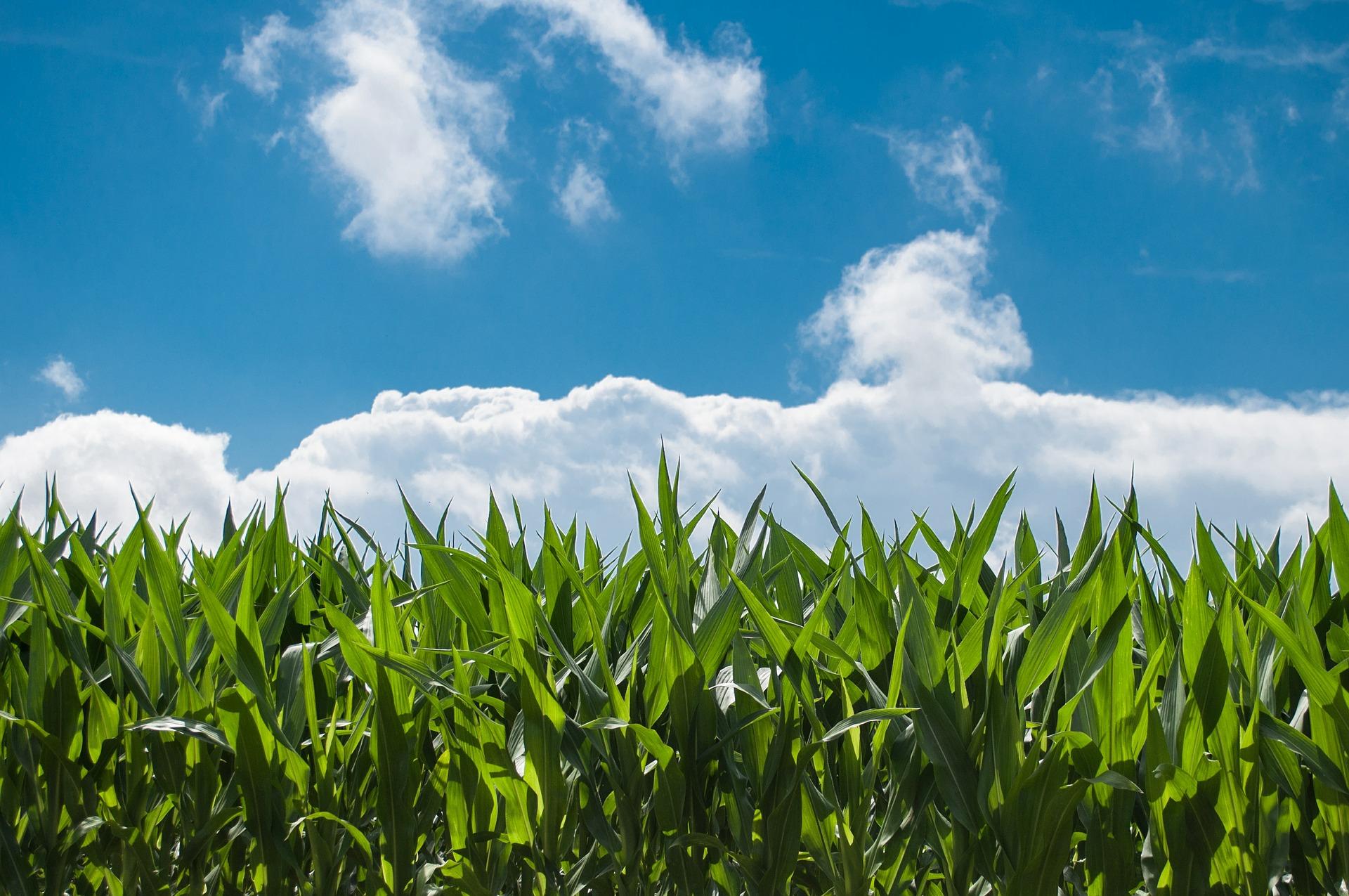 夏の空とトウモロコシ畑
