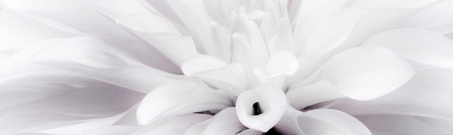 白いダリア。花言葉は感謝