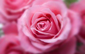 ピンクのバラ。花言葉は感謝
