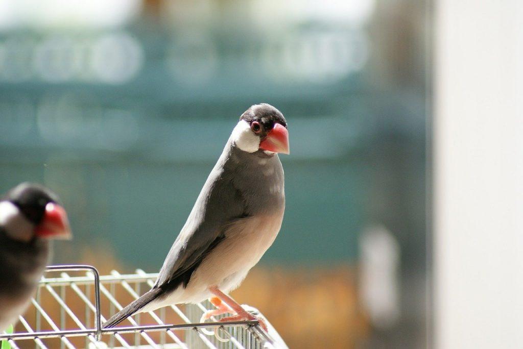 文鳥のイメージ画像
