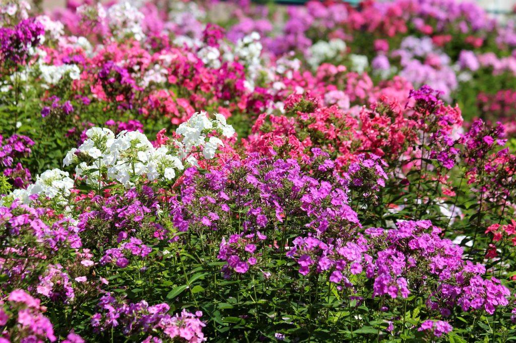 ピンクムーンの名前の由来であるシバザクラのイメージ画像