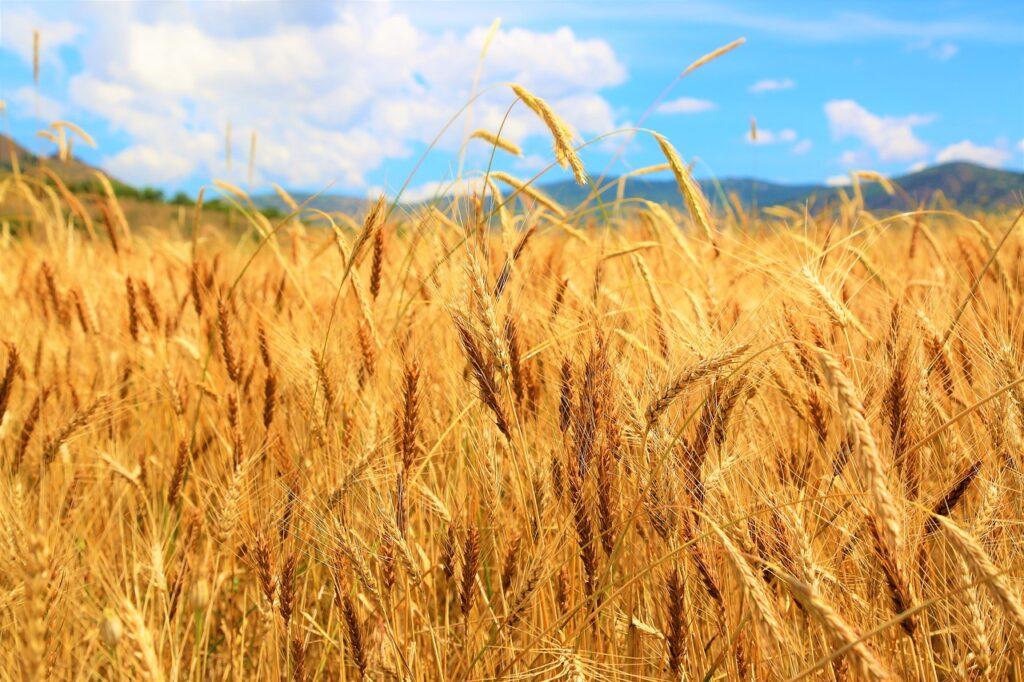 収穫時期の小麦の小麦の画像