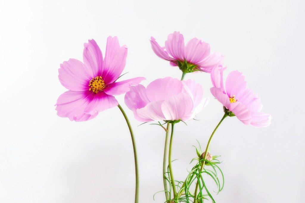 コスモスの花・コスモスの日のイメージ画像