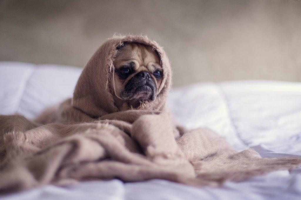 毛布にくるまれているパグ犬